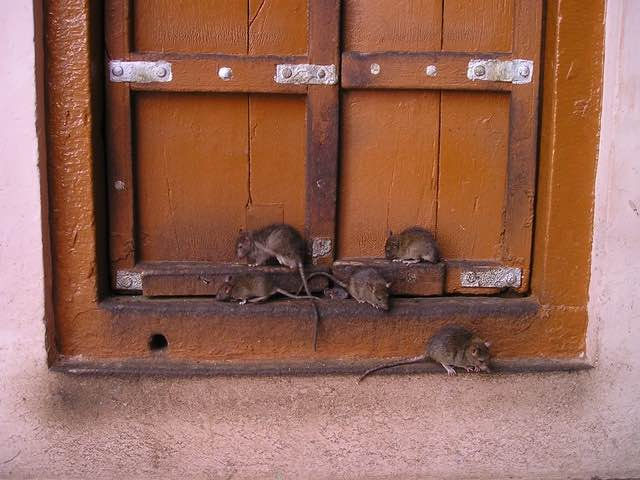 infestation de rats